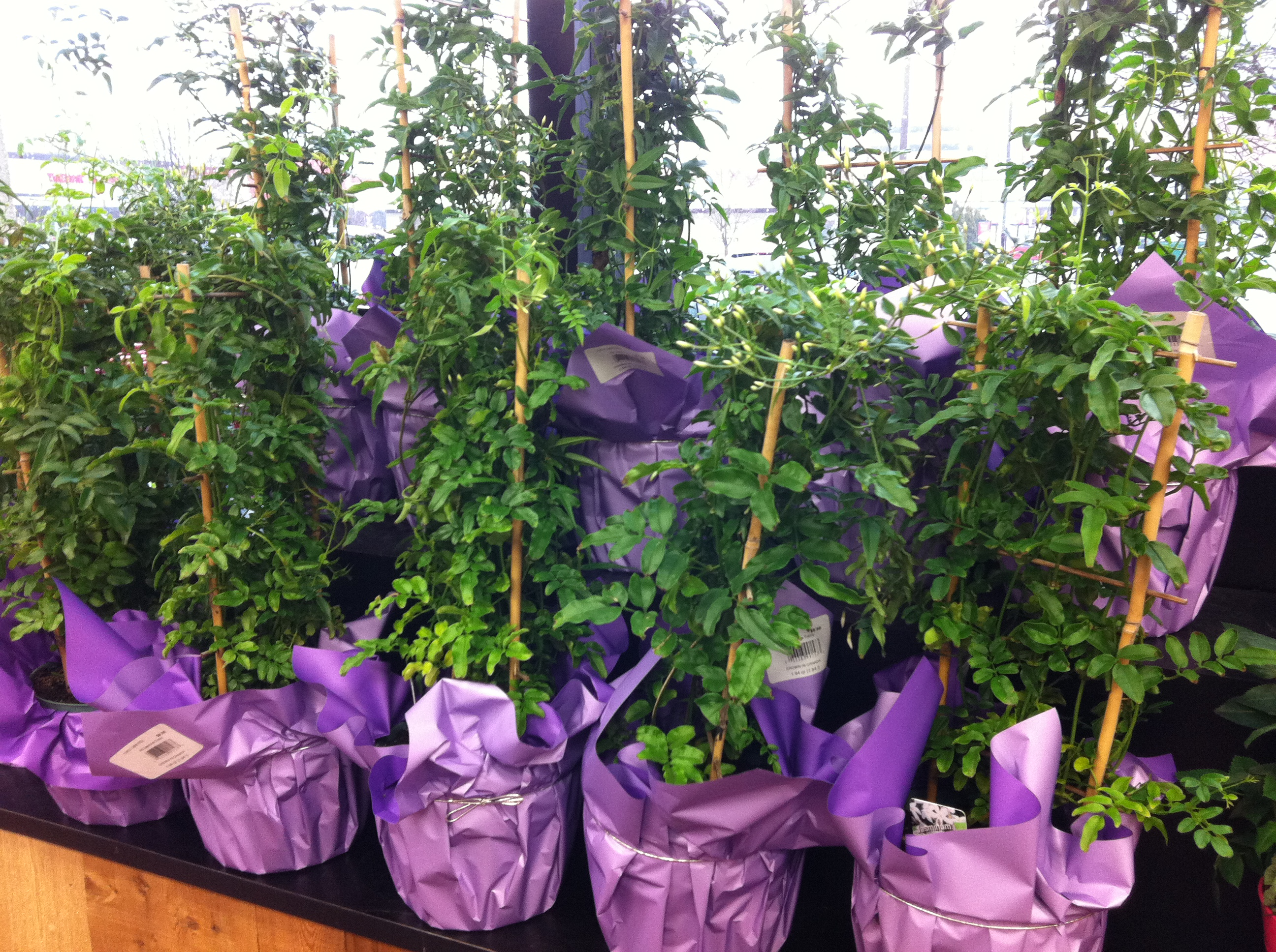 Jasmine plants for sale at trader joes the pittsburgh mommy blog i love filling my wintertime windows with different types of plantsfrom shamrock plants to bonsai trees to poinsettas to herbs to hanging vegetables izmirmasajfo