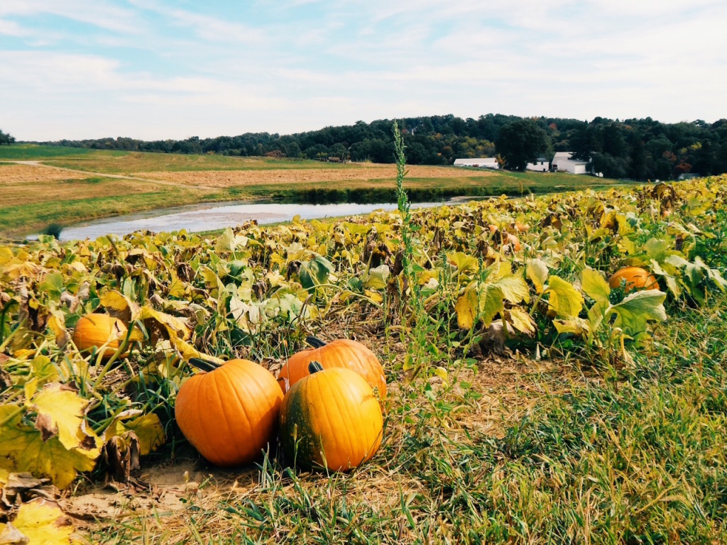 Exploring the pumpkin patch at Shenot Farm